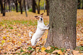 Jack Russell Terrier poses on fallen foliage