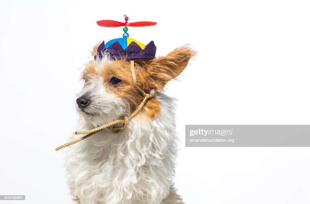Close-up shot of 'Willow,' a female Jack Russell Terrier wearing a propeller hat looking away on a white background. By using this photo, you are supporting the Amanda Foundation, a nonprofit organization that is dedicated to helping homeless animals find permanent loving homes.