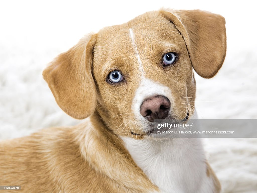 Cute dog with blue eyes : Stock Photo