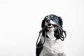 Cute Dog with Leash in Mouth. Black and White Border Collie Waiting on the Walk. Portrait on White Background.