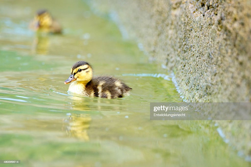 Cute Duckling swim on the Lake : Stock Photo