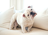 A cute English bulldog on a couch