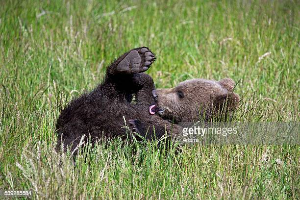 Cute European brown bear cub licking fur clean in meadow Sweden