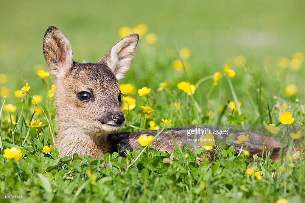 Cute fawn sitting on grass : Stock Photo