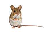 Wood mouse (Apodemus sylvaticus) sitting on hind legs and looking in the camera on white background