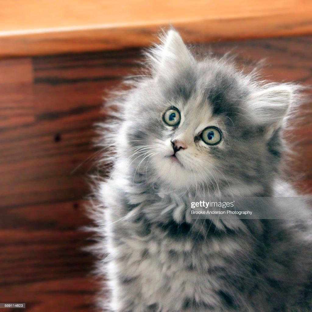 Cute fluffy grey kitten sitting on step.