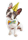 Cute French Bulldog dressed for a birthday party in a hat and colorful bow tie