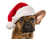 Close up of cute, little french bulldog with santa claus hat isolated on white background