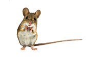 Cute Funny Wood mouse (Apodemus sylvaticus) with curious cute brown eyes looking in the camera on white background