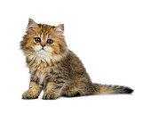 Cute golden British Longhair cat kitten on white background.