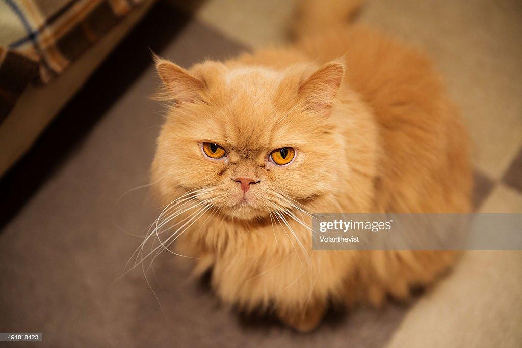 Persian cats orange