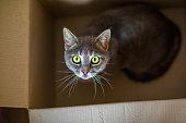 Cute gray cat in a cardboard box.