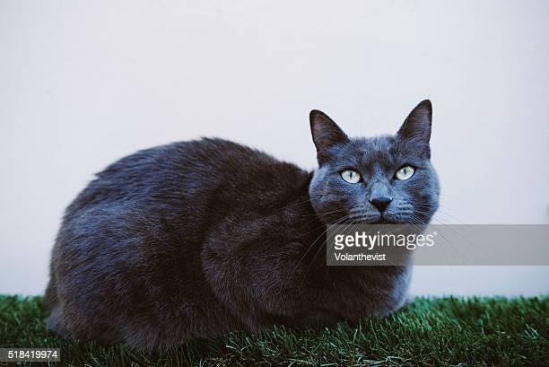 Cute gray cat outdoors sitting on the grass
