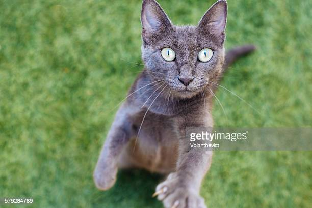 Cute gray cat standing on hind legs on the grass