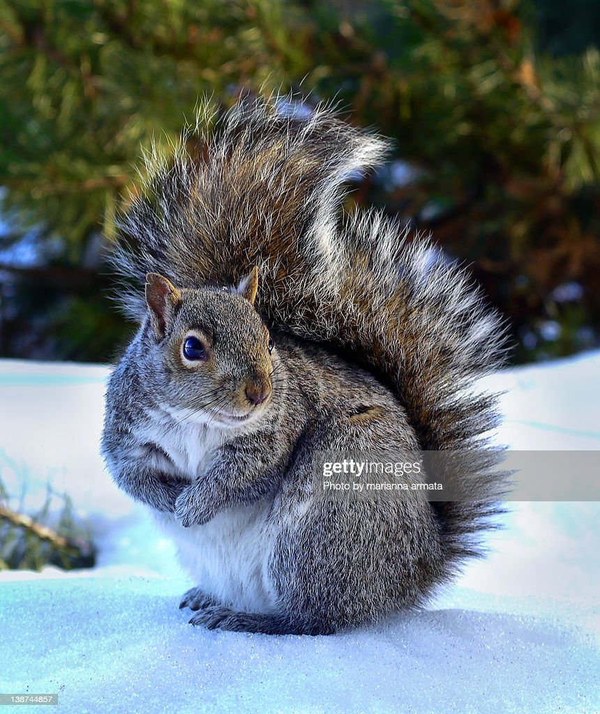 Cute gray squirrel : Stock Photo