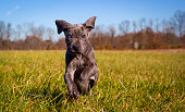 An adorable great Dane puppy runs towards viewer in a field