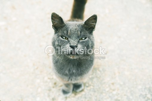 38f7bcee340a2c Cute grey cat looking at camera, selective focus in muzzle with narrow eyes  : Stock