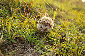 Cute Hedgehog funny on the meadow in the nature at sun light background ,travel concept together.