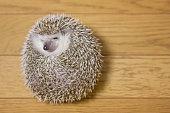 Cute hedgehog in my room