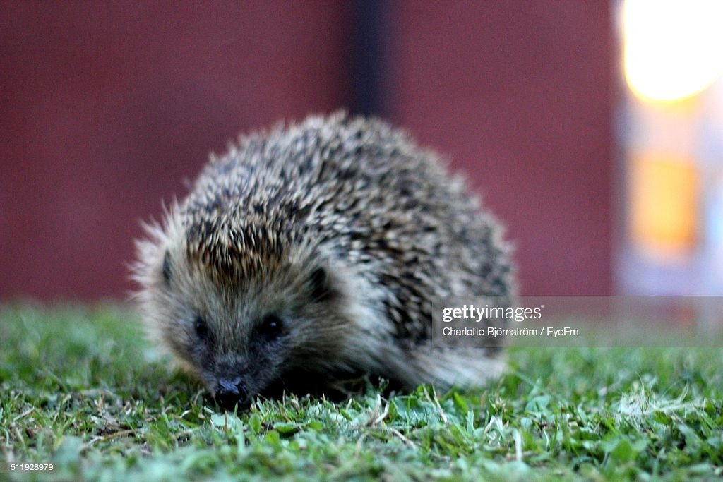 A cute hedgehog in the grass