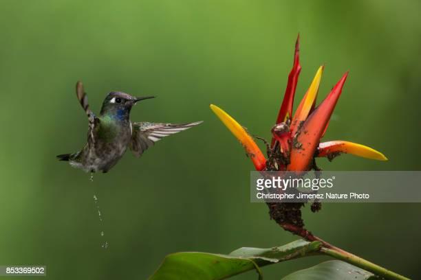 Cute hummingbird in flight peeing in the air
