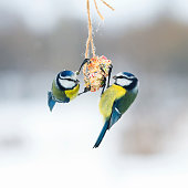 cute hungry birds fly tit at the feeders and eating seeds on the fly