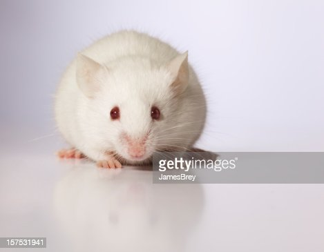 Cute Innocent Baby White Mouse Sitting, Looking at Camera
