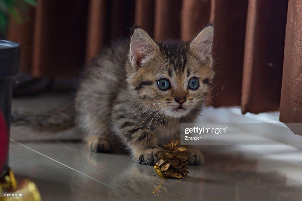 Cute kitten in christmas. : Stock Photo