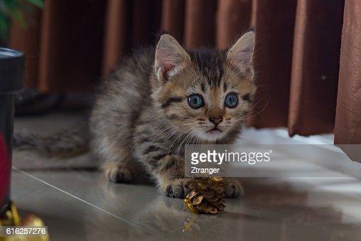 Cute kitten in christmas. : Foto de stock
