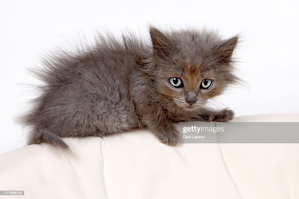 Cute kitten lying down : Stock Photo