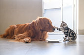 Kitty and Golden Retriever share food