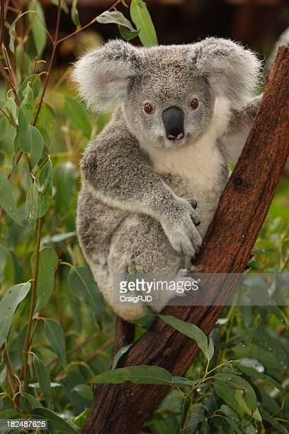 Cute koala on tree branch portrait