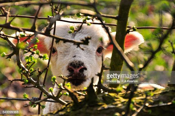 Cute lamb peeking through the hedge