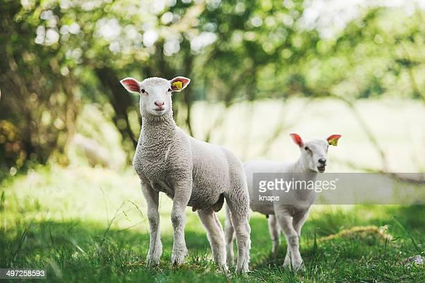 Mignon agneau en plein air dans la nature