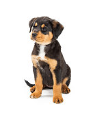 Cute young Rottweiler and large breed mix puppy dog sitting on white with mad expression
