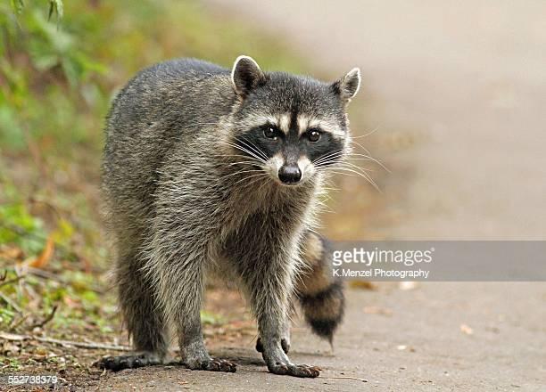 Cute little bandit
