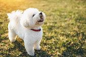 Cute little bichon frise dog out in park