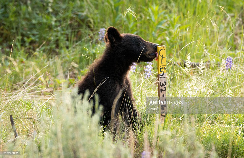 Cute little black bear cub in Yellowstone National Park : Stock-Foto