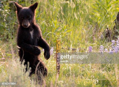 Cute little black bear cub in Yellowstone National Park : Foto de stock