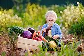 Cute little boy holding fresh organic beet in domestic garden. Healthy food for kid