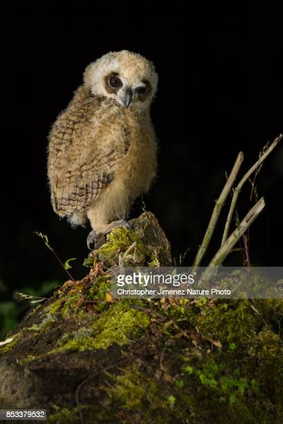 Cute little fluffy owl perched on a tree during the night