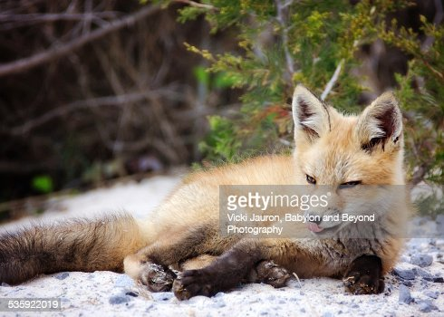 Cute Little Fox Kit Just Hanging Out : Stock Photo