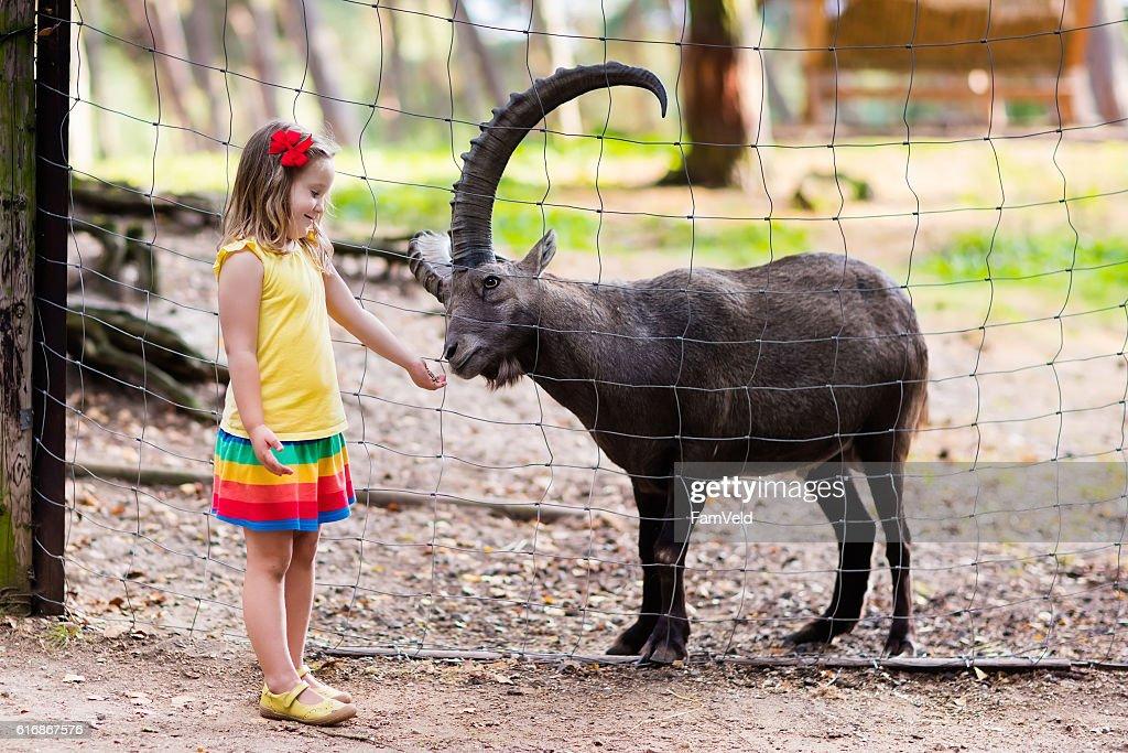 Cute little girl feeding wild goat at the zoo : Stock Photo