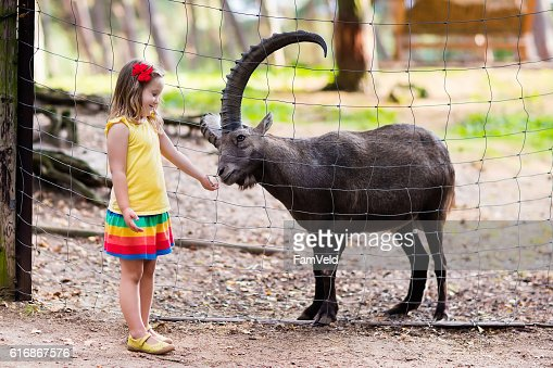 Cute little girl feeding wild goat at the zoo : Stock Photo