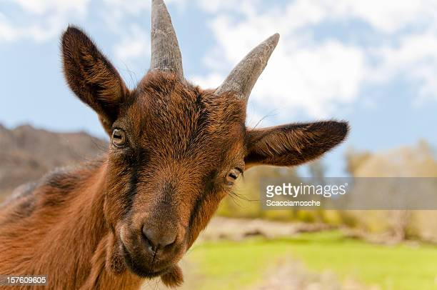 Cute little goat