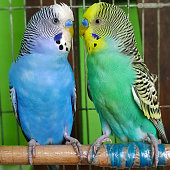 Budgerigar sits on a branch. The parrots are multi-colored. Bird parrot is a pet. Beautiful, pet wavy parrot. Common bird: Budgerigar.