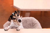 cute little naughty fricolor Jack Russell Terrier dog is standing on his hind legs - hair style smooth