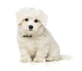 Cute little maltese puppy isolated on white background