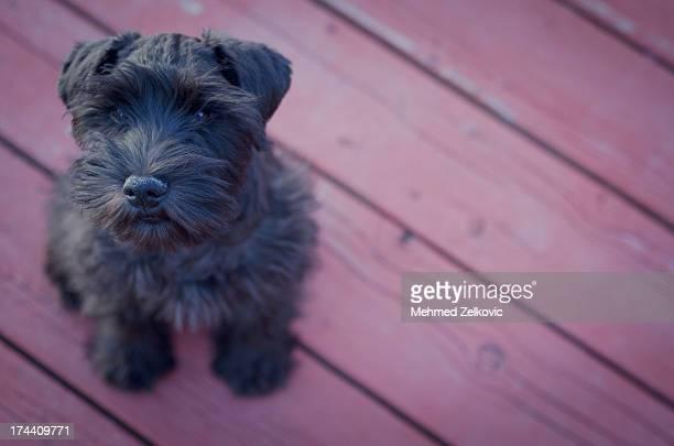 Cute little Schnauzer puppy