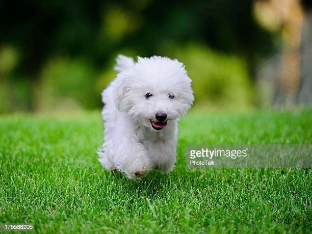 かわいい小さな白い犬は、無料のランニング-XXXXXLarge